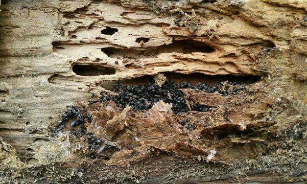 Termite and Carpenter Ant Damage Prevention